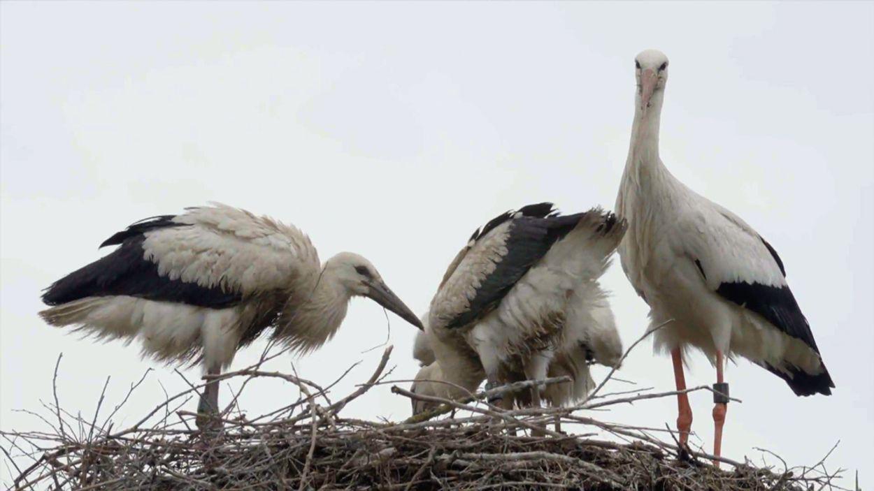 Afbeelding van Paradevogels van het Zwin: ooievaars