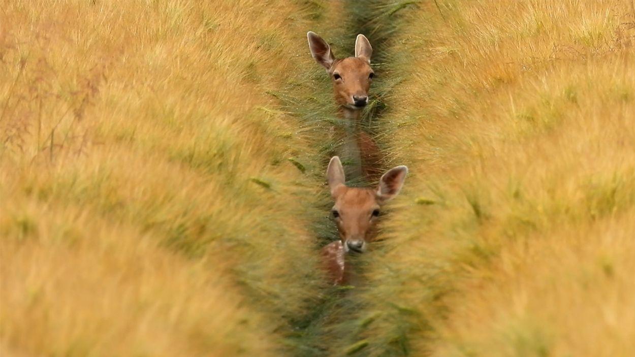 Afbeelding van Damherten wandelen door landbouwspoor | Zelf Geschoten
