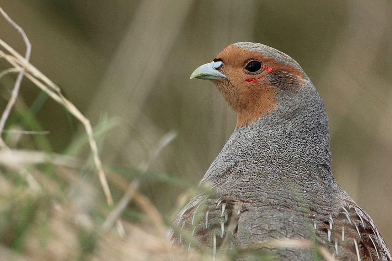 Afbeelding van Aantal vogels op boerenland neemt flink af