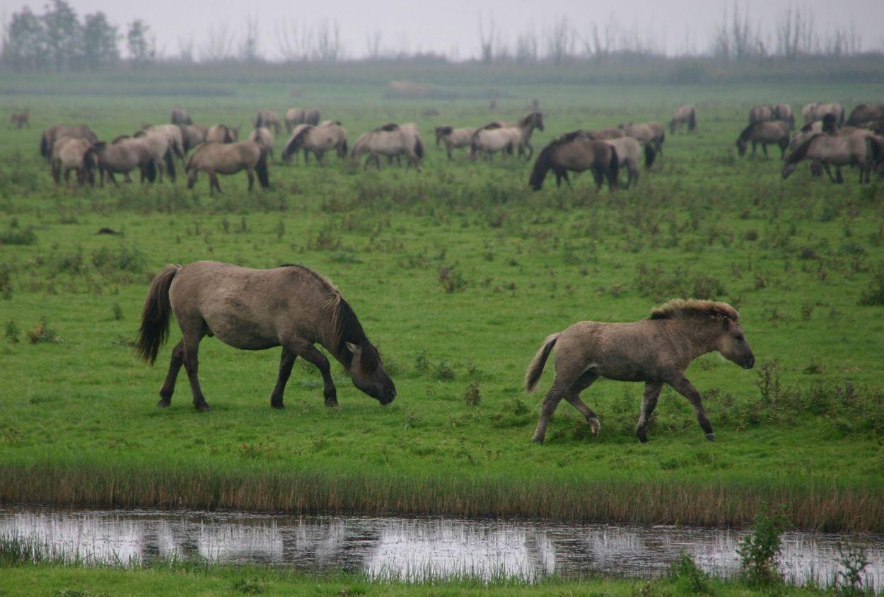 Afbeelding van Staatsbosbeheer: 2200 grazers zijn overschot in Oostervaardersplassen