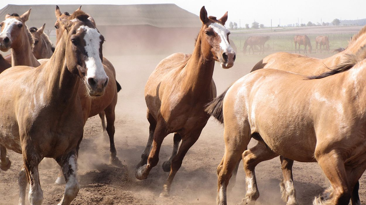 Afbeelding van Nederland importeert veel fout Argentijns paardenvlees