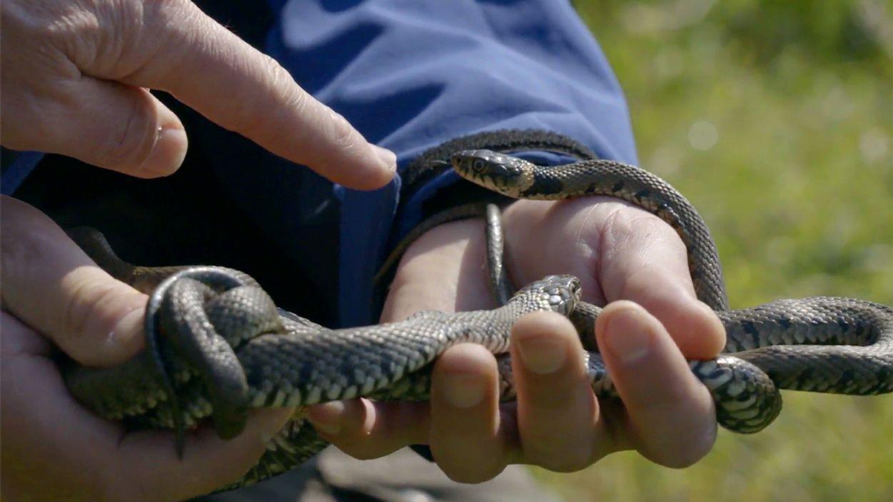 Afbeelding van Ringslangen op de Diemerdijk