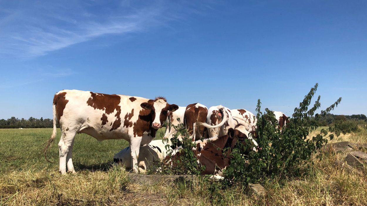 Afbeelding van Meldpunt: vee zonder schaduw