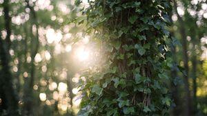 Afbeelding van Houdt de klimop bomen in een wurggreep?