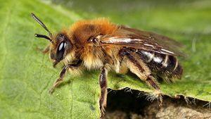 Afbeelding van 'Bijen kunnen worden ingezet om corona op te sporen'
