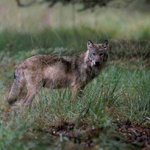 Afbeelding van Anti-wolfmaatregelen nog geen voorwaarde voor schadevergoeding