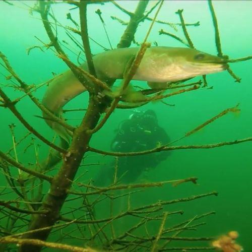 Afbeelding van 60 procent van de vispassages werkt helemaal niet voor paling