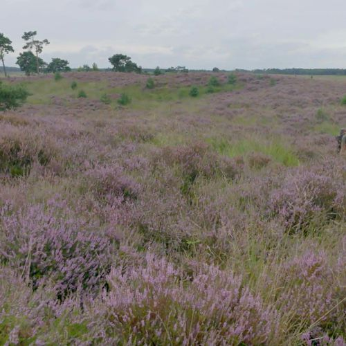 Afbeelding van Samenwerken op Kalmthoutse Heide voor heideherstel