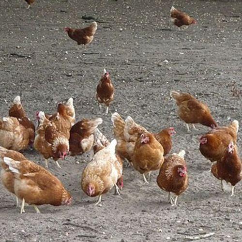 Afbeelding van Tweede keer ophokplicht na uitbraak vogelgriep dit jaar
