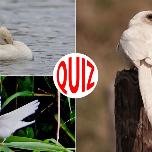 Afbeelding van Quiz: vogels met een ander kleurtje