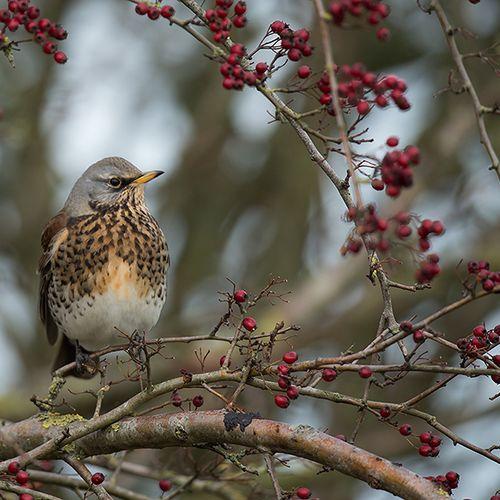Afbeelding van Wintervogels volgen klimaatverandering beter dan broedvogels