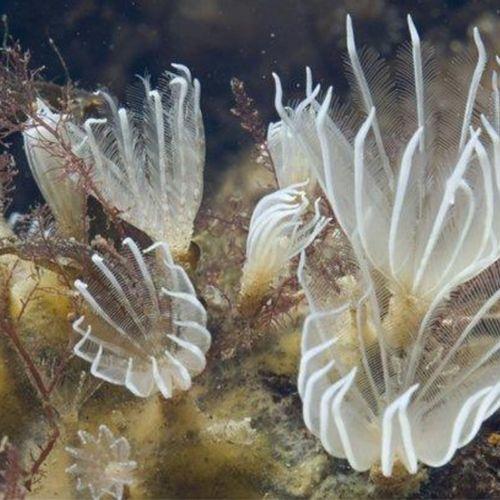 Afbeelding van Soort knikwaaierworm na 14 jaar eindelijk bekend