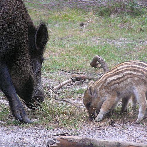 Afbeelding van Het dilemma rond het wild zwijn