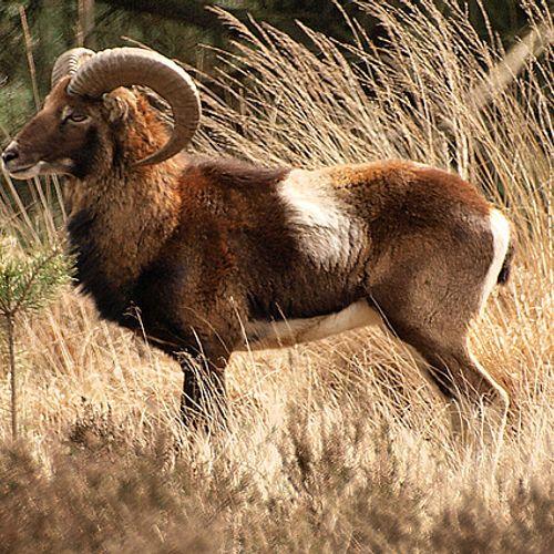 Afbeelding van Hoge Veluwe verhuist moeflons wegens aanvallen wolvin