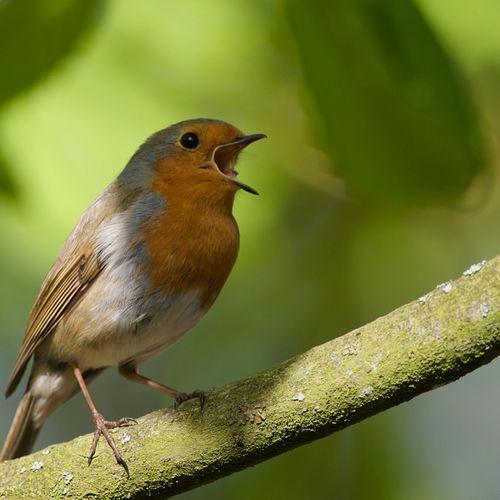 Afbeelding van Vroege Vogels presenteert het Nationaal Vogelconcert