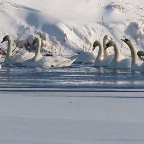 Afbeelding van Zwanen op 'Antarctica'   Zelf Geschoten
