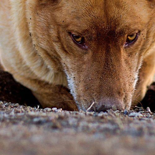 Afbeelding van Niet muskusrat maar honden graven Drentse dijken kapot