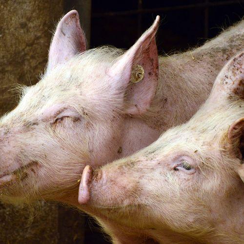 Afbeelding van Geen varkensstaluitbreiding voor Straathof