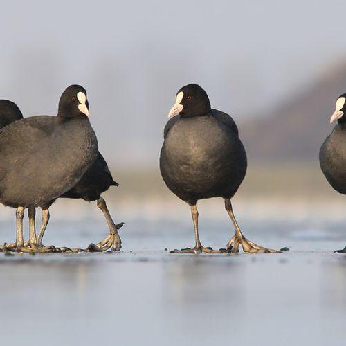 Afbeelding van Waarom krijgen vogels geen koude voeten?