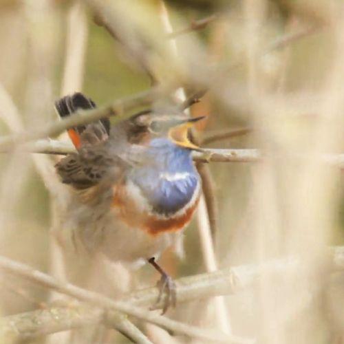Afbeelding van De zeldzame broedvogels van Van Oordt's Mersken