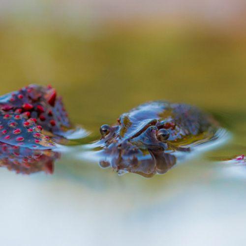 Afbeelding van Zoektocht: hoe vang je een Amerikaanse rivierkreeft?