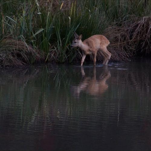 Afbeelding van Reekalf in het water | Zelf Geschoten