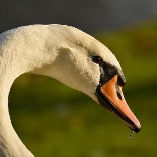 Afbeelding van Vogelgriep vastgesteld bij dode wilde knobbelzwanen