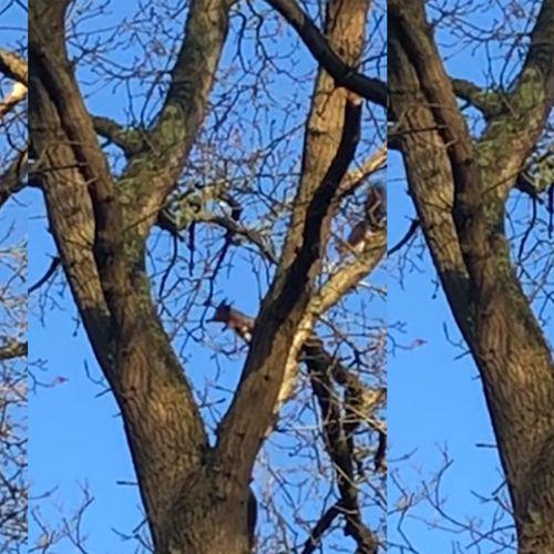 Afbeelding van Vier 'vliegende' eekhoorns | Zelf Geschoten