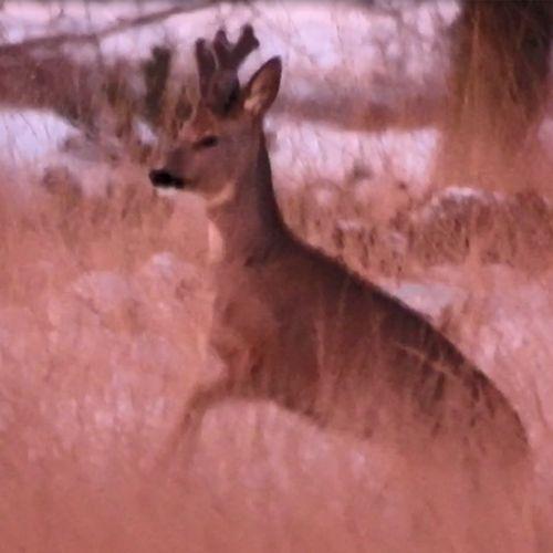Afbeelding van Ree bokt opgewonden in de sneeuw   Zelf Geschoten