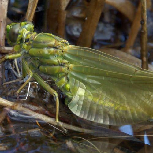 Afbeelding van Veertig libellensoorten in de Wieselse Plas