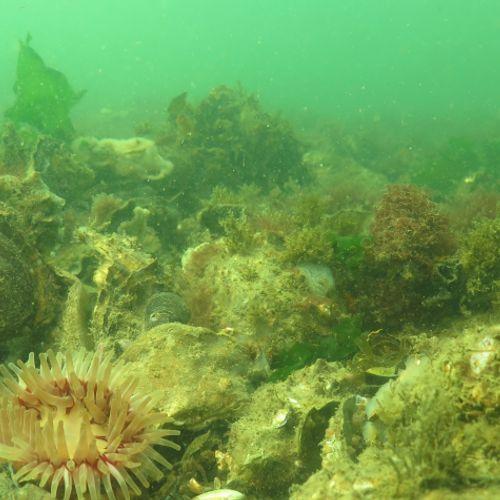 Afbeelding van 'Volgende stap naar herstel oesterbanken en onderwaternatuur'