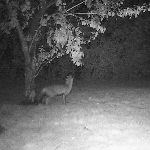 Afbeelding van Hoe plukt een vos pruimen uit een fruitboom? | Zelf Geschoten