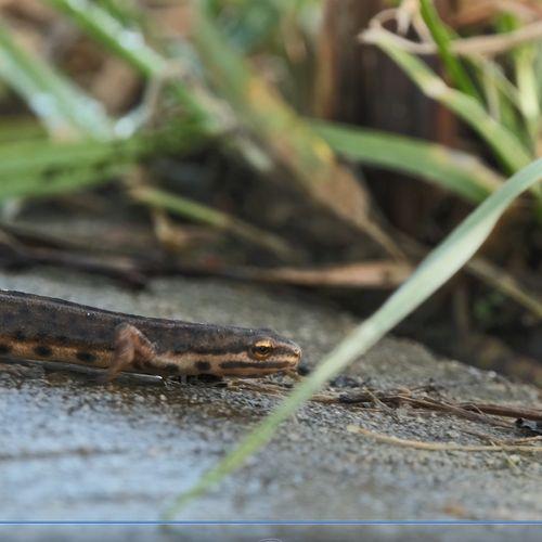 Afbeelding van Kleine watersalamander steekt over | Zelf Geschoten