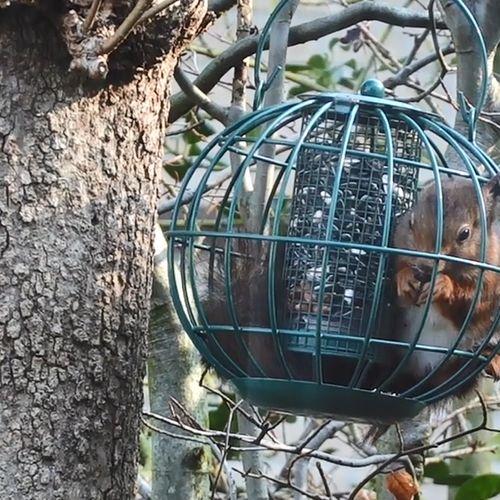 Afbeelding van Eekhoorn breekt in voerkooi | Zelf Geschoten