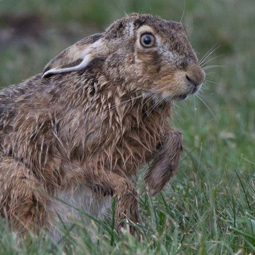 Afbeelding van Dierenbescherming: stop jacht op hazen en konijnen