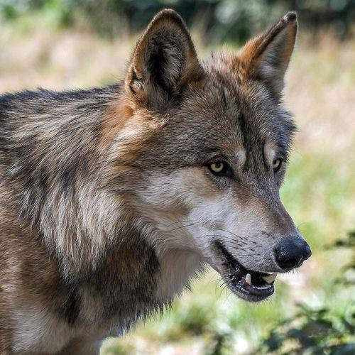 Afbeelding van Wie is er bang voor de boze wolf?