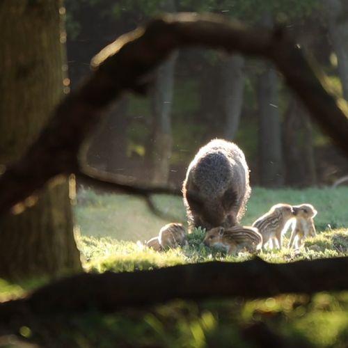 Afbeelding van Wild zwijn met jongen | Winnaar Zelf Geschoten