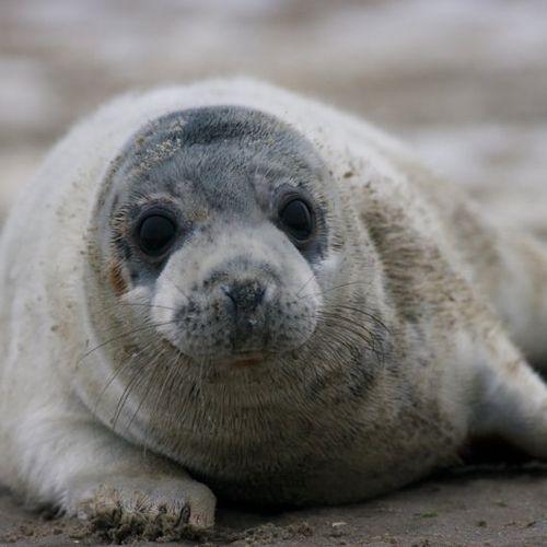 Afbeelding van Een vijfde meer grijze zeehonden in Waddenzee
