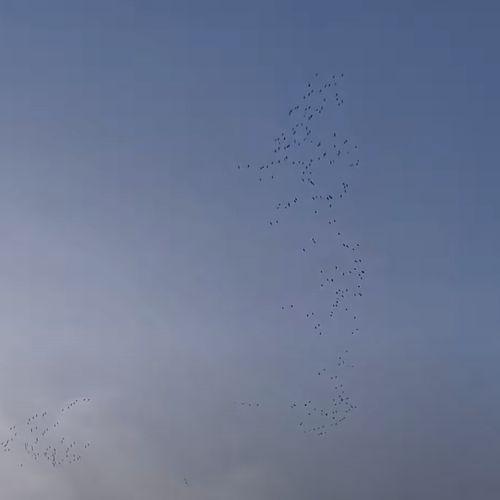 Afbeelding van Flinke groep kraanvogels | Zelf Geschoten