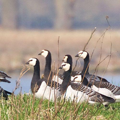 Afbeelding van Vogelgriep treft veel wilde vogels