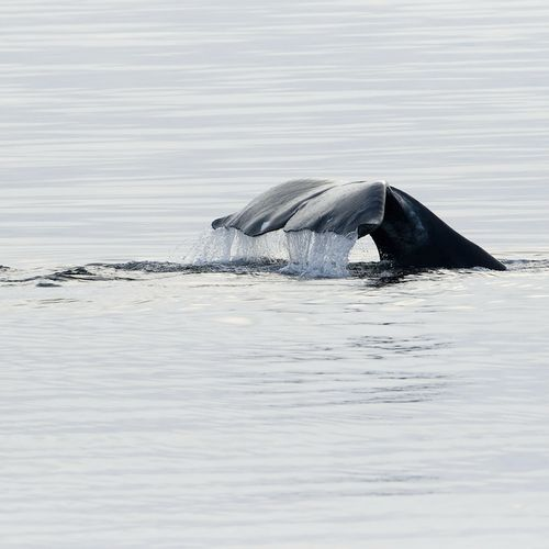 Afbeelding van Oproep tot actie om een ernstig bedreigde Noordkaper te redden