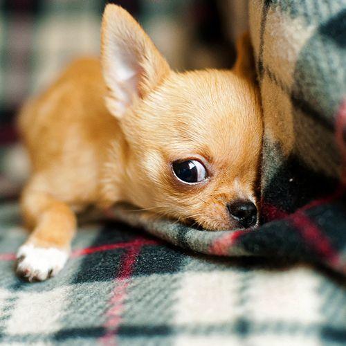 Afbeelding van Dier&Recht: 'amper controles op fokkers van honden en katten'