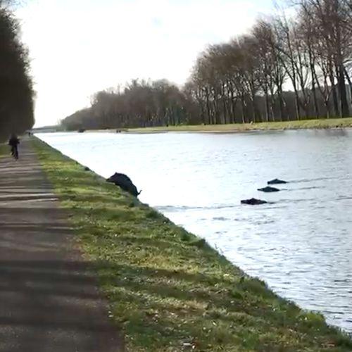 Afbeelding van Wilde zwijnen steken kanaal over | Zelf Geschoten