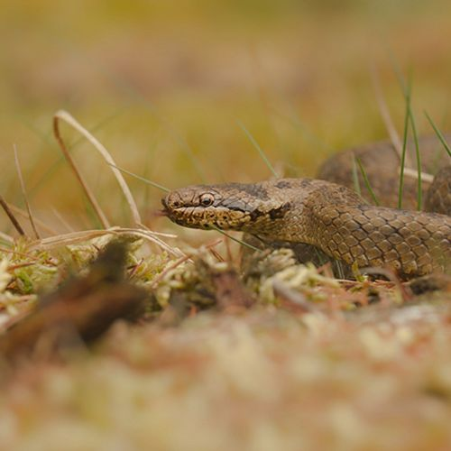 Afbeelding van Gladde slang tussen de bloeiende heide