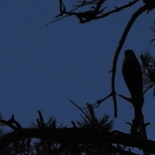 Afbeelding van Nachtzwaluw in de Maasduinen   Zelf Geschoten