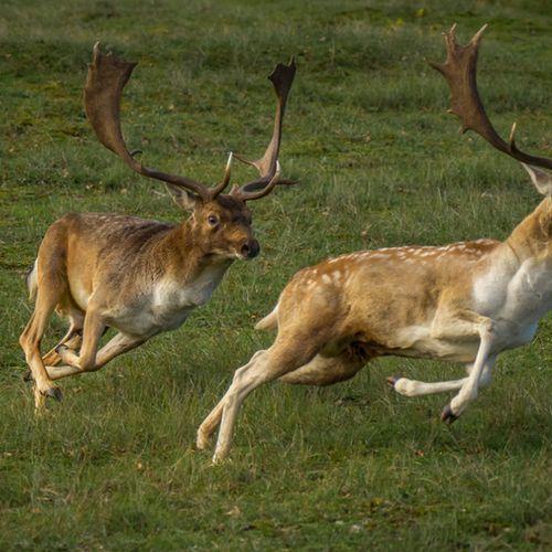 Afbeelding van Helft van de wilde damherten zorgt voor overlast