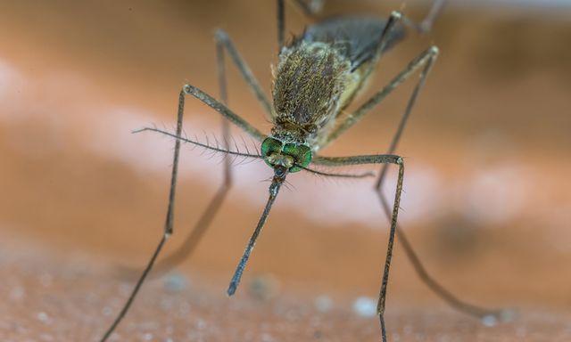 Afbeelding van Steekmuggen in de winter? Stuur je dode mug op voor onderzoek!